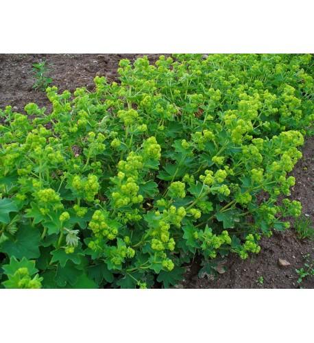 ALCHEMILKA OBYČAJNÁ, PASIENKOVÁ Alchemilla monticola L., Alchemilla xanthochlora Rothm. (A. vulgaris L.)