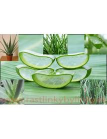 Aloe,  Aloa pravá - (Aloe vera L.)