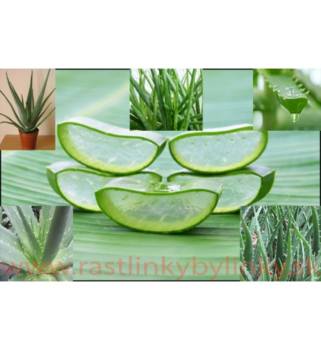 Aloa pravá - (Aloe vera L.)