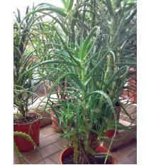 Aloe stromovitá – (Aloe arborescens, L.)