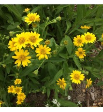 Arnika americká - (Arnica chamissonis L. )