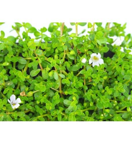 Brahmi - Bakopa drobnolistá, (bacopa monnieri L.)  / rastlinka v kvetináčiku