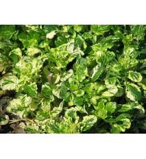 "Barborka obyčajná "" Variegata "" (Barbarea vulgaris L. )"