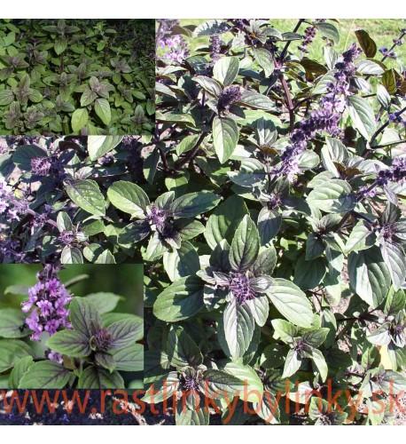 """Bazalka vytrvalá -  Ocimum """" African Blue"""""""
