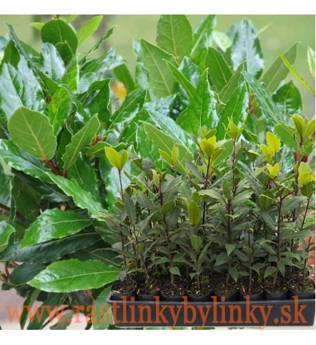 Bobkový list - Vavrín pravý (Laurus nobilis L.) / rastlinka v kvetináči