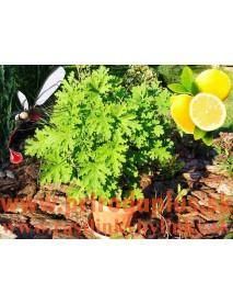 Muškát citrónový – proti komárom, ( Pelargonium crispum 'Lemon' L., Pelargonium citrosum L. 'Mosquito fighter')