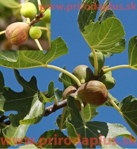 Figovník obyčajný – Brown Turkey (Ficus carica, Brown turkey)