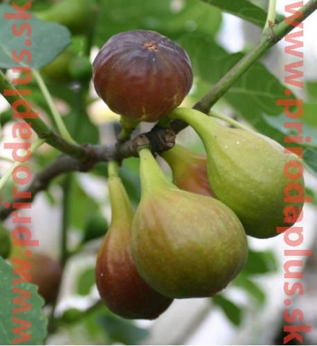 """Figovník obyčajný (Ficus carica, L.)  """"NO NAME"""" / rastlina v kvetináči."""