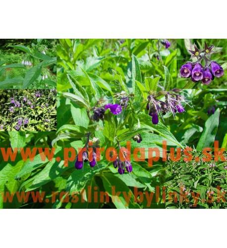 Kostihoj lekársky (Symphytum officinale L.)