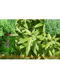 Lípia citrónová,  Alojzia citrónová-(Lippia citriodora L.)