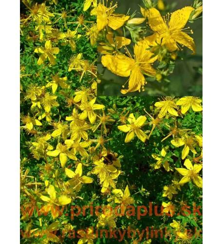 Ľubovník bodkovaný - (Hypericum perforatum L.)