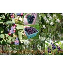 Muchovník jelšolistý  (Amelanchier alnifolia L.)   / rastlina v kvetináči