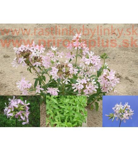 Mydlica lekárska – (Saponaria officinalis L.)