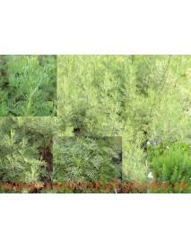 """Palina arbotanová (božie drievko), Kola, cola bylinka,  Artemisia abrotanum L. var. maritima """" Coca Cola """" / rastlinka v kvetináči"""