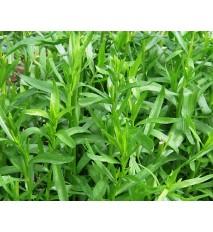 Palina dračia –  Ruský estragón (Artemisia dracunculus L.) / rastlinka v kvetináči
