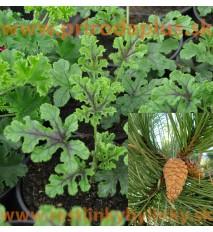 Muškát borovicový, s vôňou borovice- pinus-(Pelargonium odoratissimum Pinus)