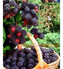 """Černica (Rubus fruticosus L.) odroda """"BLACK SATIN"""" / rastlina v kvetináči"""