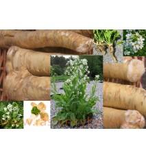 Chren dedinský (Armoracia rusticana, syn. Cochlearia armoracia L.)/ rastlinky, bylinkyv kvetináči