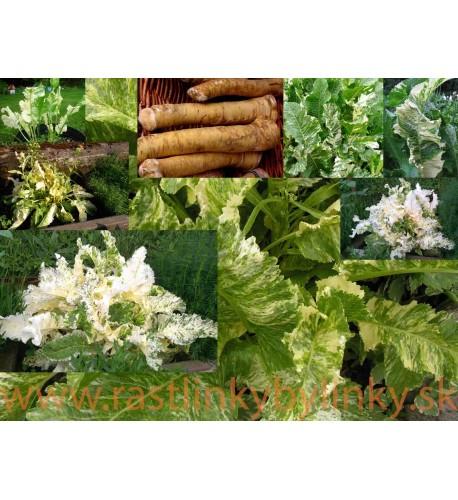 """CHREN DEDINSKÝ """" Variegata """" (Armoracia rusticana, syn. Cochlearia armoracia L.) – pestrolistý /rastlinky, bylinky v kvetináči"""