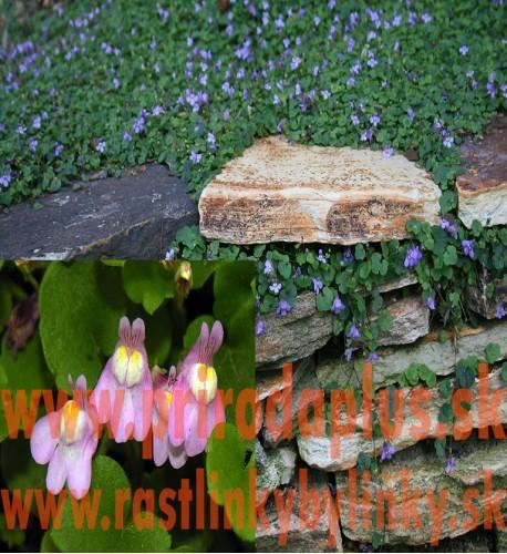 Cimbalok múrový–(Cymbalaria muralis L.)