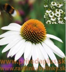 """Echinacea """"alba"""", biela ( Echinacea purpurea """"alba"""" L. )"""