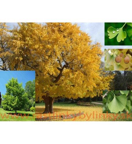 Ginko, Ginkgo dvojlaločné - ( Ginkgo biloba L. )/ rastlina v kvetináči