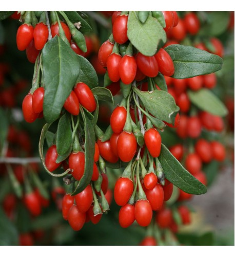 Goji - kustovnica čínska (Lycium chinense L.) / rastlinky, bylinky v kvetináči