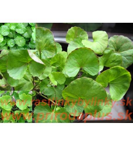 Gotukola, gotu kola (Centella Asiatica L.), Pupočník ázijský, Pupkovník ázijský / rastlinky, bylinky v kvetináči