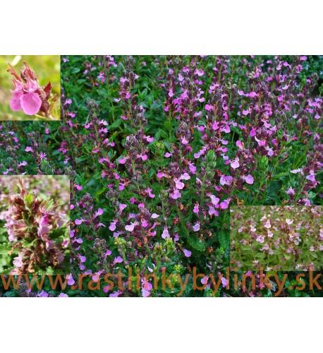 Hrdobarka obyčajná- ožanka, ( Teucrium chamaedrys L. ) / rastlinky, bylinky v kvetináči