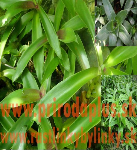 Kalísia voňavá-(Callisia fragrans L.)