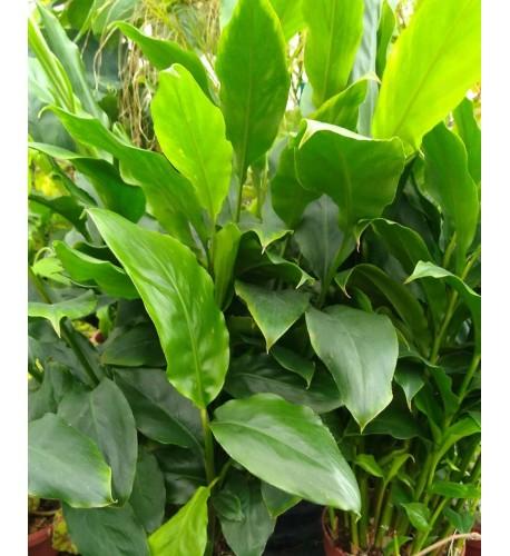 Kardamón obyčajný, Kardamom ( Elettaria Cardamomum L.) /rastlinky, bylinkyv kvetináči