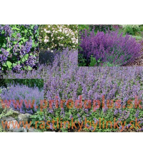 """Kocúrnik záhradný, mačacia bylinka """"SUPERBA"""" – ( Nepeta faassenii """" Superba """" L.) / rastlinky, bylinkyv kvetináči"""