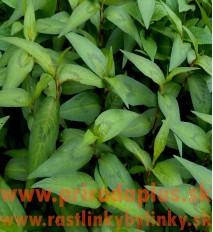 Koriander vietnamský-stavikrv voňavý-(Persicaria odorata L.)