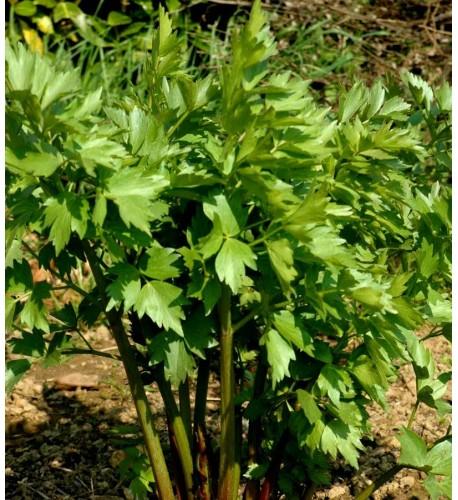 Ligurček lekársky - (Levisticum officinale, L.) VEGETA, MAGI