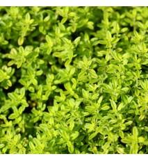 Dúška materina alebo dúška úzkolistá - citrónová (Thymus serpyllum L. , syn. Thymus serpyllum vulgaris L. )