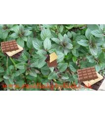 """Mäta čokoládova,  mäta - (Mentha piperita """"Chocolate"""".) / rastlinka, bylinka v kvetináči"""