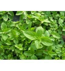 Mäta zázvorová, mäta, ginger  (Mentha gentilis ´Ginger´ L.) / rastlina, bylinka v kvetináči