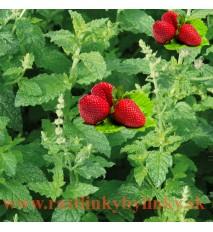 """Mäta jahodová ( Mentha species """" Erdbeerminze"""",Mentha piperita 'Strawberry') / rastlinka, bylinka v kvetináči"""