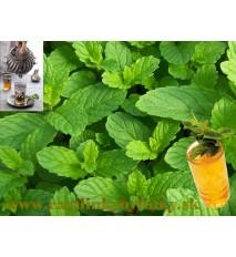 Mäta marocká - (Mentha spicata 'Moroccan' L.)/ rastlinky, bylinkyv kvetináčiku