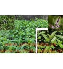 Mäta pieporná - (Mentha piperita L.) / rastlinky, bylinky v kvetináči