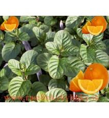 """Mäta pomarančová ( Mentha piperita """"Citrata"""" L. ) / rastlinky, bylinkyv kvetináči"""