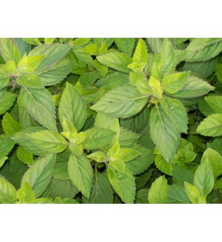 Mäta grepová / Mentha suaveolens × piperita ´GRAPEFRUIT ´ / rastlinky, bylinky v kvetináči