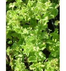 Mäta kučeravá – ( Mentha spicata var. Crispa L. ) /rastlinky, bylinkyv kvetináči