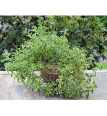 Mäta ananásová - (Mentha suaveolens 'Variegata' L. ) / rastlinka v kvetináči