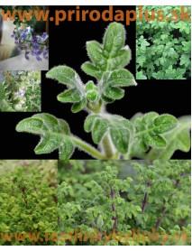 Migrénovník-(Iboza species tetradenia L.)