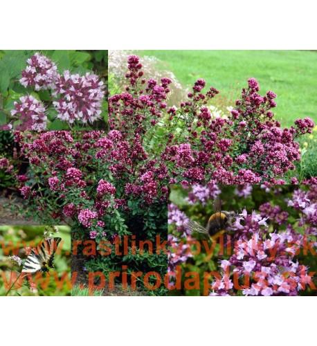 Pamajorán obyčajný-(Origanum vulgare L.)