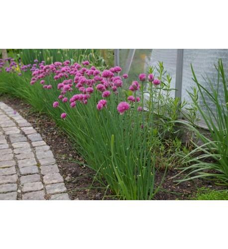 Pažítka - Cesnak pažítkový (Allium schoenoprasum L.)