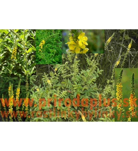 Repík lekársky (Agrimonia eupatoria L.)
