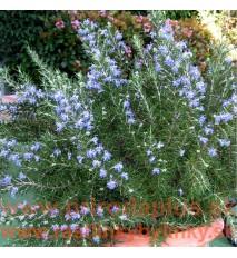 "Rozmarín lekársky-(Rosmarinus officinalis L.), ""Blue winter"" nemrznúca odroda"