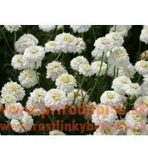 "Ruman rímsky ""Flore Pleno""- rumanček ( harmanček ) rímsky - (Anthemis nobilis L., Chamaemelum nobile L.,""Flore Pleno"" )"